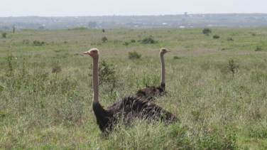 Masai ostrich - males on eggs in Nairobi National Park