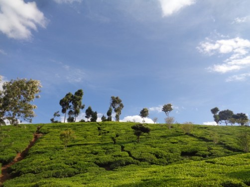 Tea plantations surrounding Gatamaiyu forest - acts like a fence to stop people from encroavhing into the forest and elephants from straying out copyright Rupi Mangat