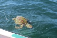 Dead green turtle near where the Lamu port is being constructed copyright Rupi Mangat