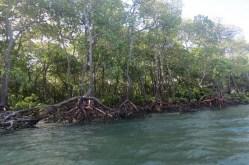 Tall mangrove trees near Mkokoni, Kiunga Marine National Reserve Copyright Maya Mangat