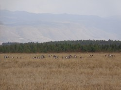 Flock of Grey crowned cranes by Lake Ol Bolossat in the shadows of the Aberdaresin central Kenya Copyright Rupi Mangat