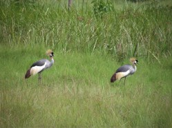 Grey Crowned Cranes pair for life Courtesy: International Crane Foundation / Endangered Wildlife Trust Partnership