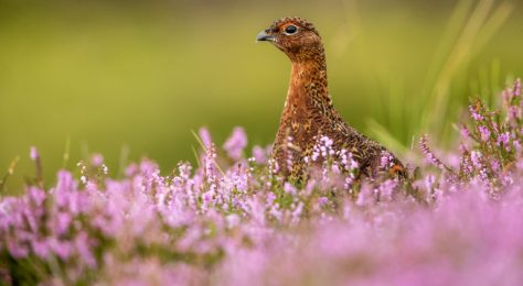The red grouse is known as a game bird and its habitat here is on a grouse moor in Yorkshire
