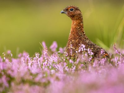 Red Grouse in Pink and Purple Heather