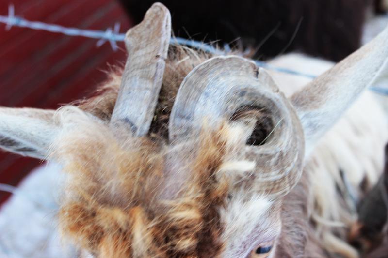 Goat Buck Horns