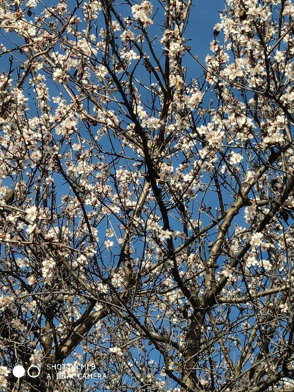 Floración del almendro en Burgohondo