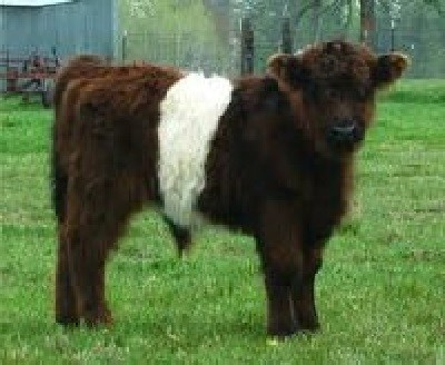 Guide to Miniature Cattle Breeds for Your Small Farm