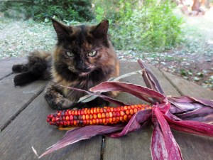 Dark calico cat, Butterscotch, sits next to red colored corn.