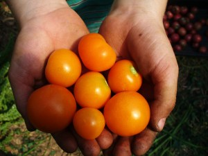 Small dirty hands hold orange tomatoes.