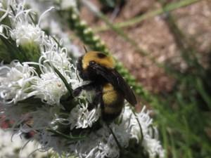 Bombus nevadensis feeds on a white liatris.