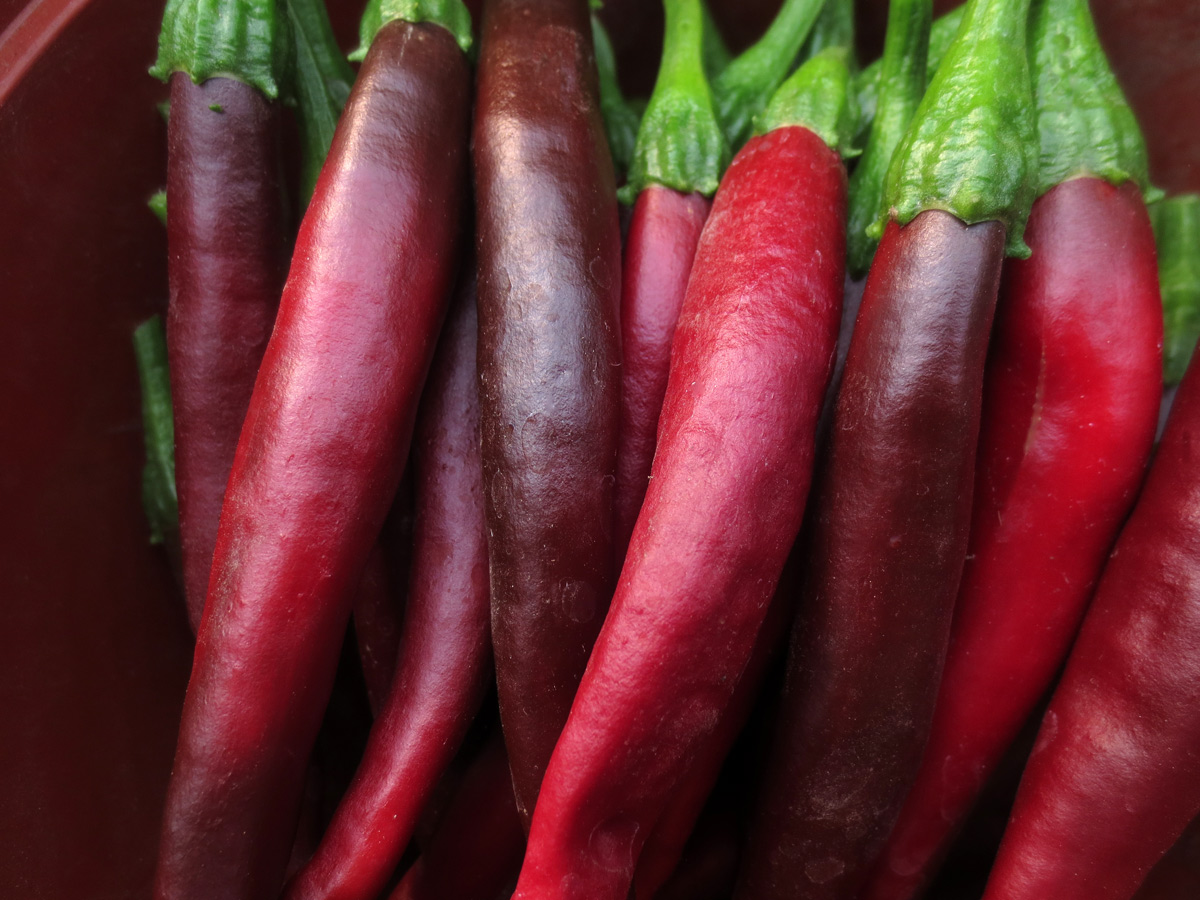 A line of dark red sweet peppers.
