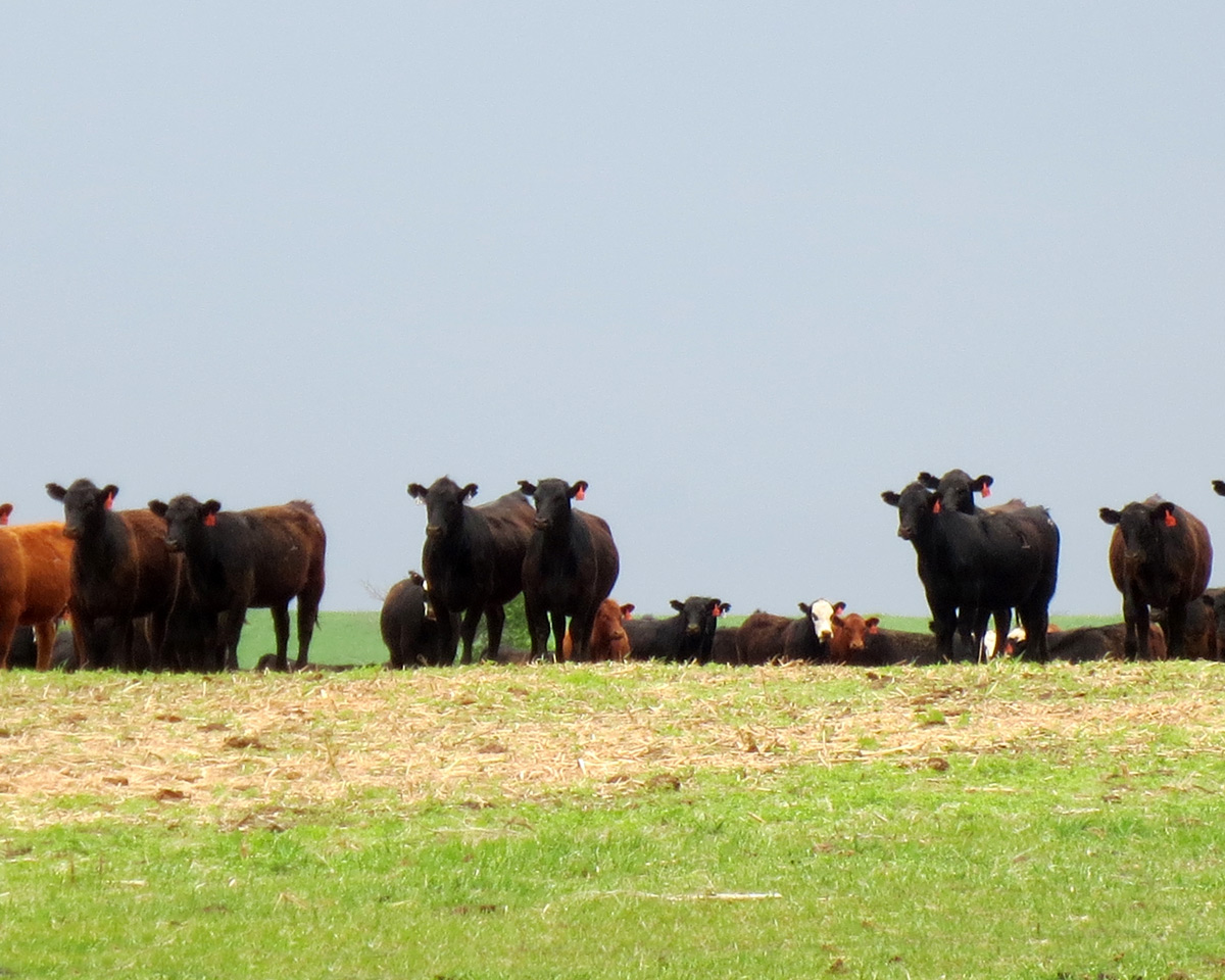 Line of staring heifers.