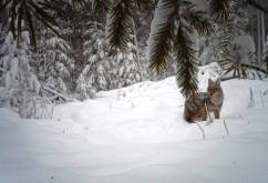 Coyote - not far from my place!