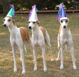 Pros And Cons Of Whippet Ownership Is The Whippet Right