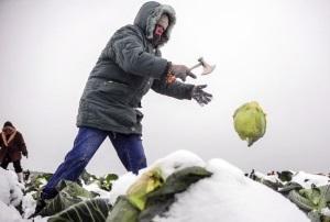 Когда можно рубить капусту на зиму