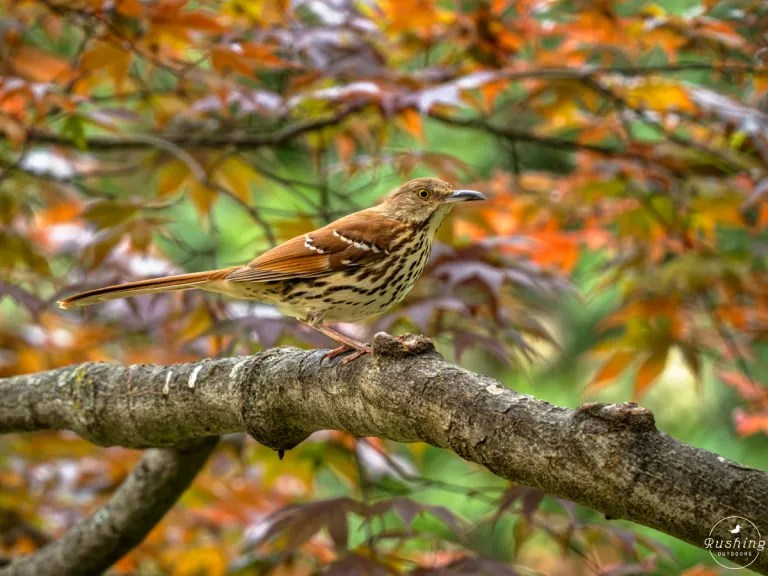 Brown Thrasher in colorful leaves