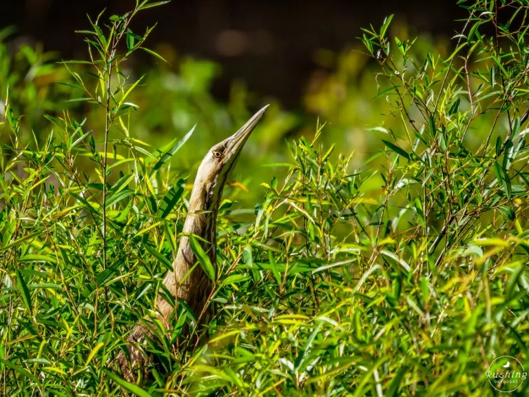 American Bittern camouflaged and hiding in the reeds