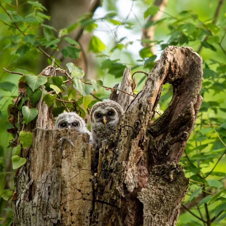 Super cute Barred Owlets
