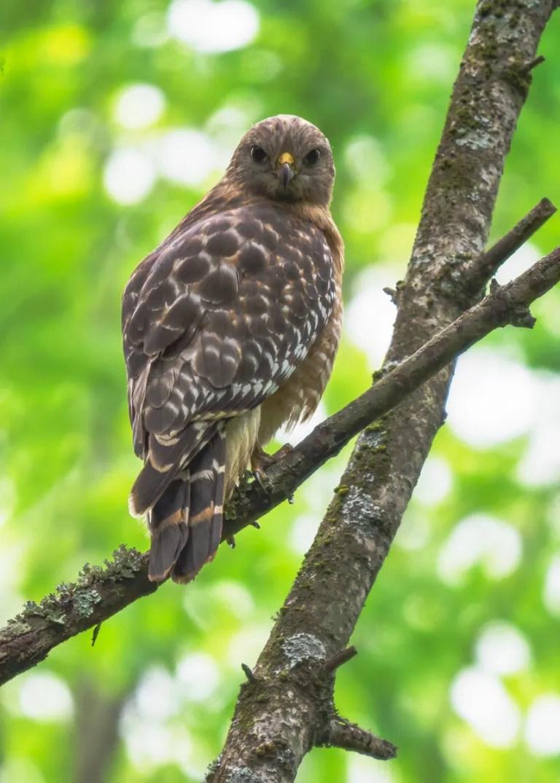 Red-shouldered Hawk staring