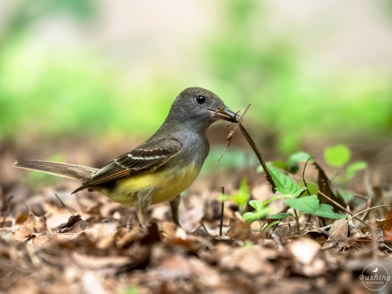 Great Crested Flycatcher with nesting material