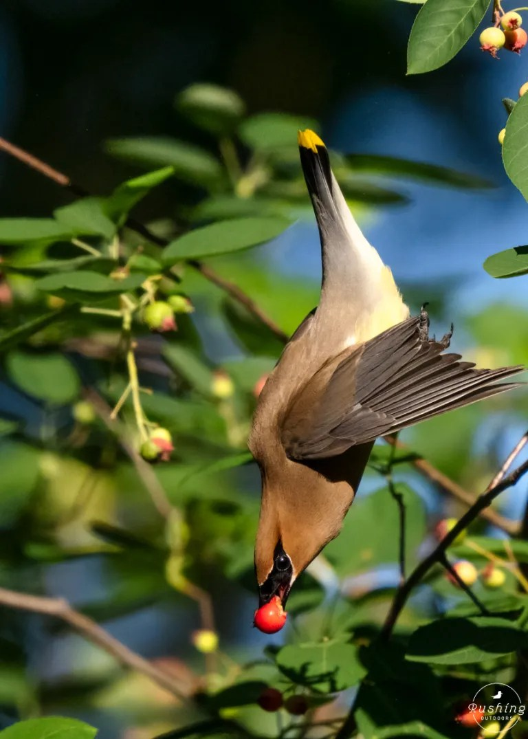 Cedar Waxwing eating serviceberry in mid-air