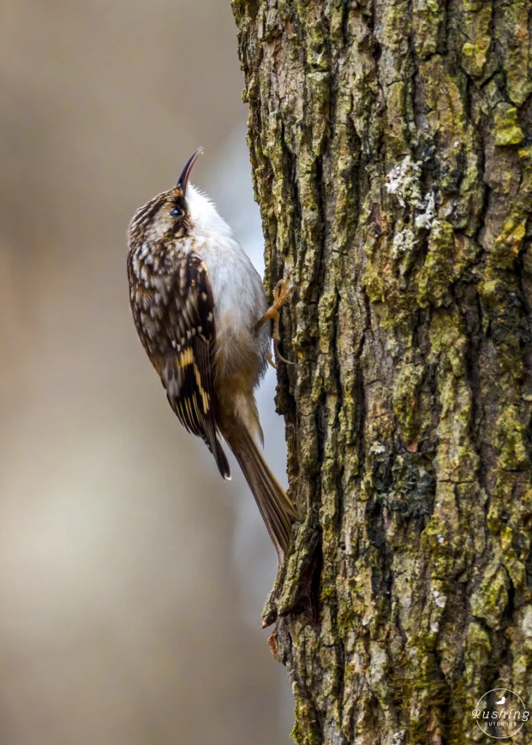 Brown Creeper profile eating tiny insect