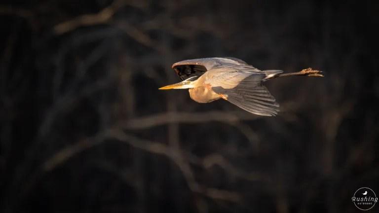 Great Blue Heron in flight in morning light