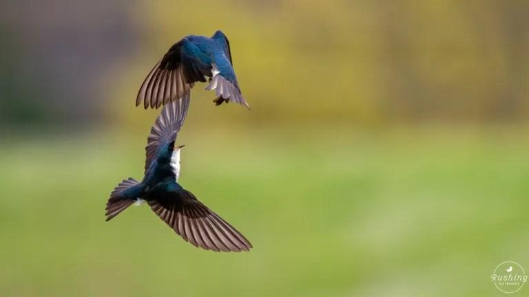 Tree Swallows fighting in flight