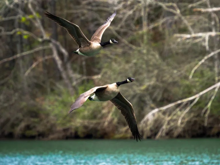 Canada Geese in flight honking