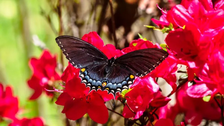 Dark Form Female Eastern Tiger Swallowtail on red azalea