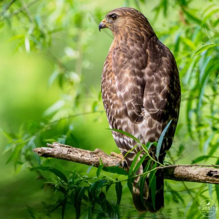 Close up of Red-shouldered Hawk