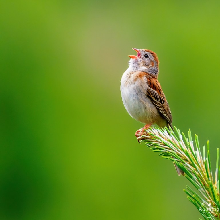 Singing Field Sparrow in minimalist composition