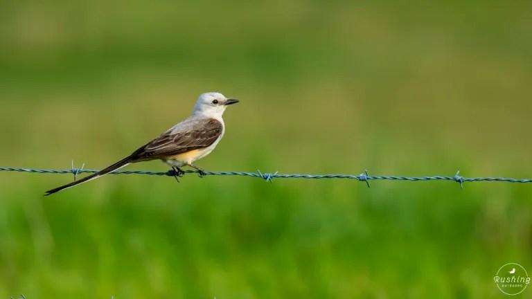 Scissor-tailed Flycatcher On A Fence In Georgia