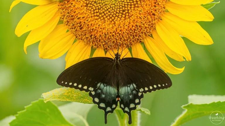 Female Dark Form Eastern Swallowtail