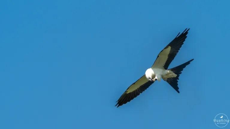 Swallow-tailed Kite eating grasshopper in flight