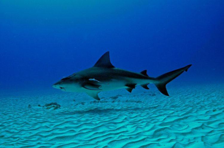 5 Shark Species You will Encounter Scuba Diving in the Caribbean Sea