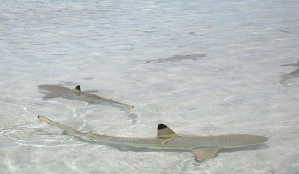 5 Shark Species Found in the Mediterranean -