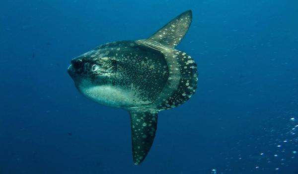 sunfish bali