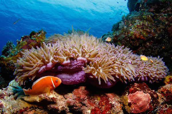 Clown_fish_on_pink_anemone_in_yap