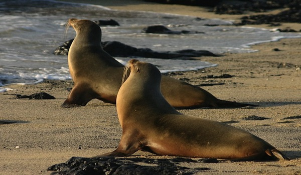 A_pair_of_galapagos_sea_lions_on_isabela_island