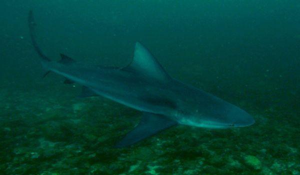 Bull_shark_costa_rica
