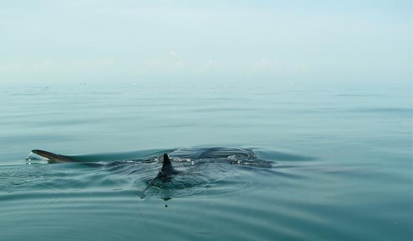 Whale_shark_fin