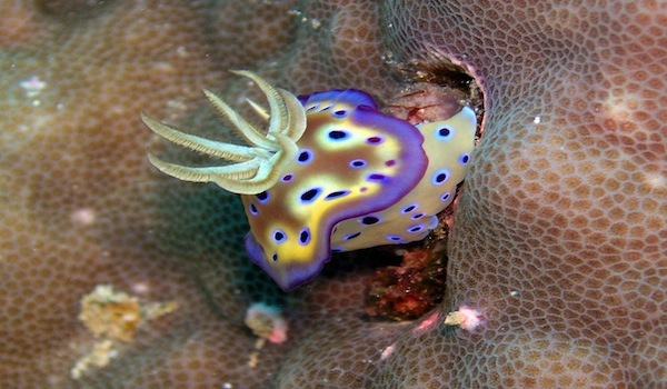 Colorful_nudibranch