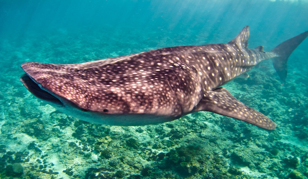 Dive_with_whale_sharks_in_maldives