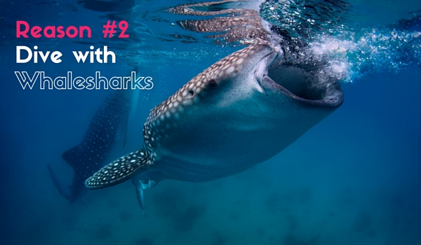 dive with whalesharks in Belize