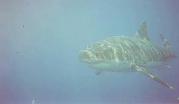 Great_white_shark_ahead