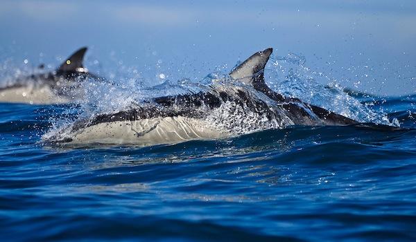 Sardine_run_dolphins