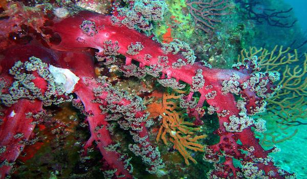 Soft_coral_garden_coron