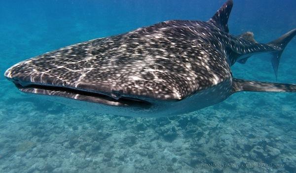 Whale_shark_close