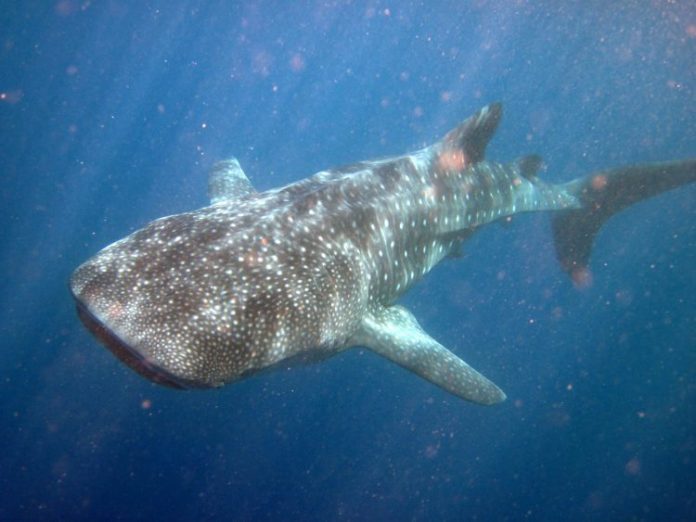 whaleshark 1